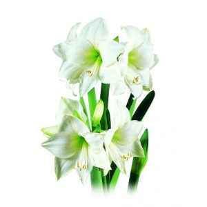 Amaryllis Intokazie (branca) - cartela com 1 bulbo